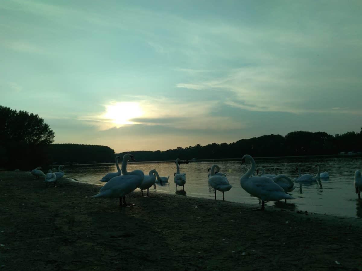 Lac, eau, rive, au bord du lac, cygne, oiseau, ciel, plage, paysage