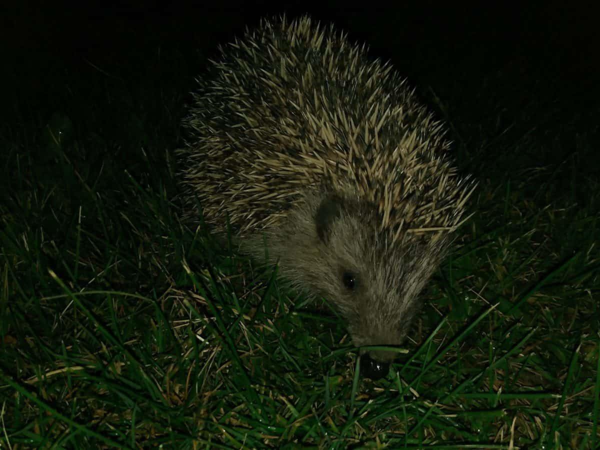nature, grass, hedgehog, placental, night, wildlife