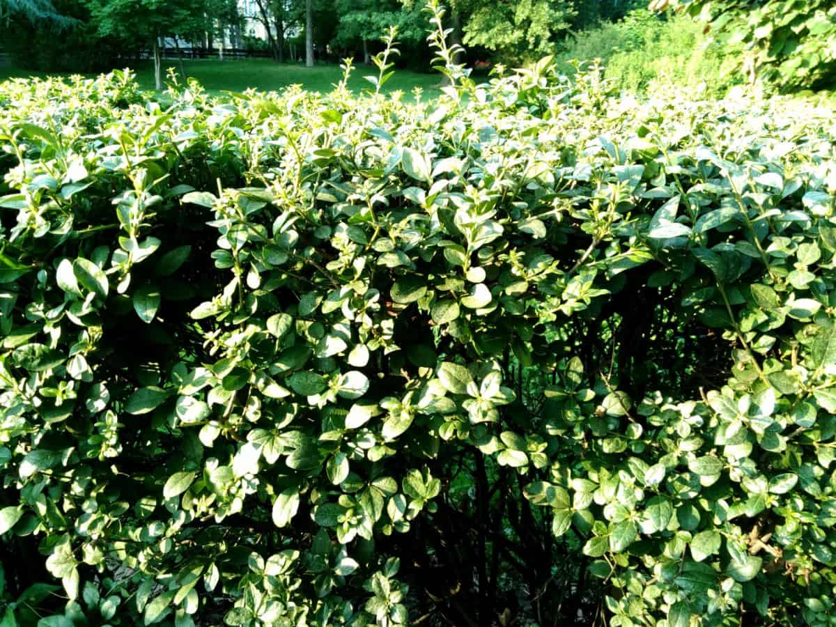 arbuste, arbre, jardin, flore, feuille, nature, été, fleur, plante