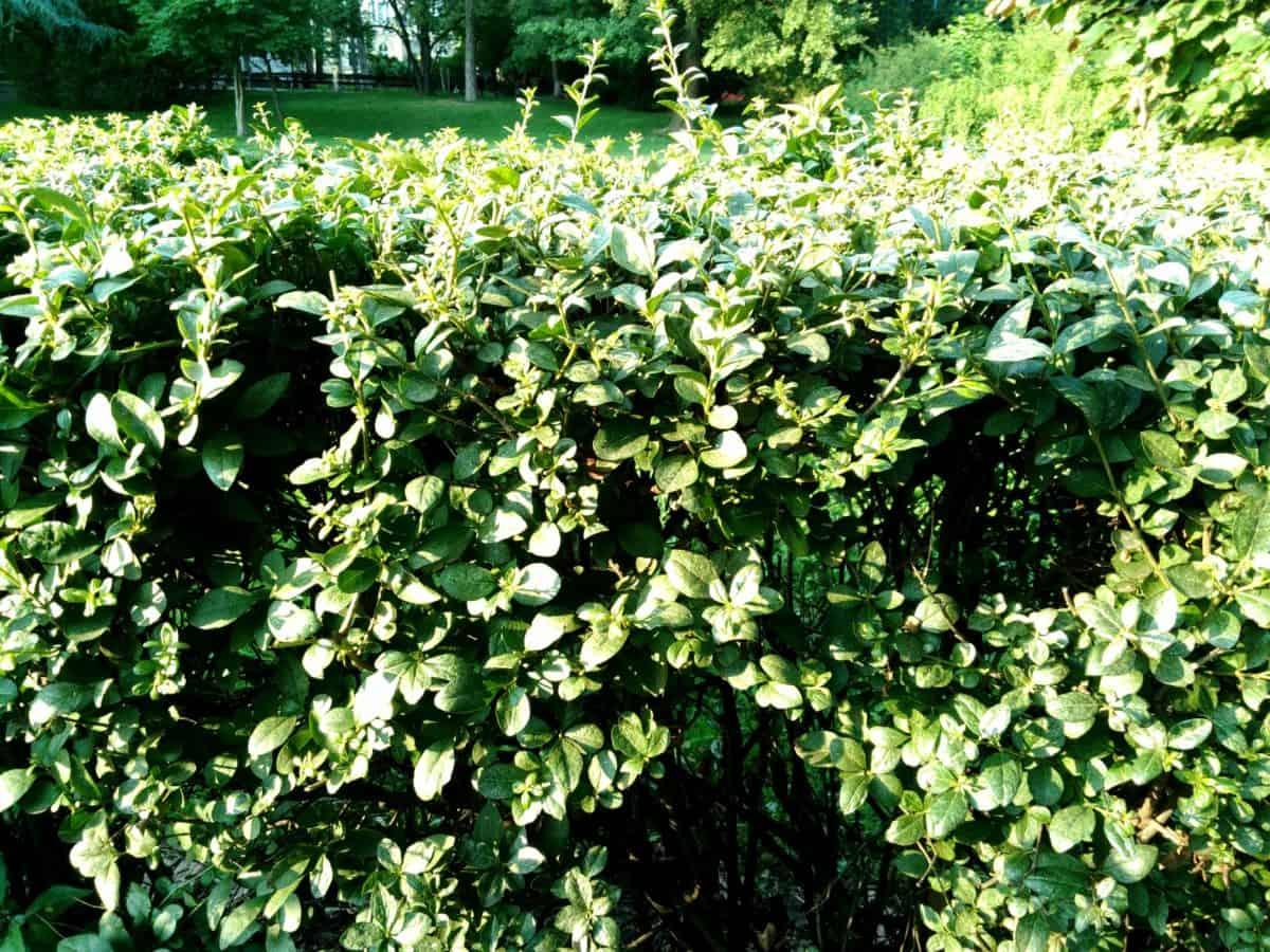 arbusto, árbol, jardín, flora, hoja, naturaleza, verano, flor, planta
