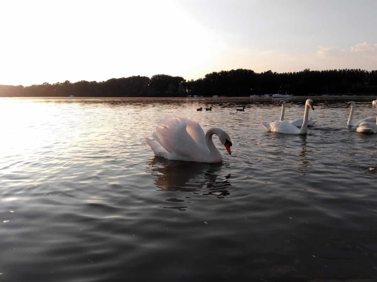 water, swan, river, nature, reflection, lake, bird, animal
