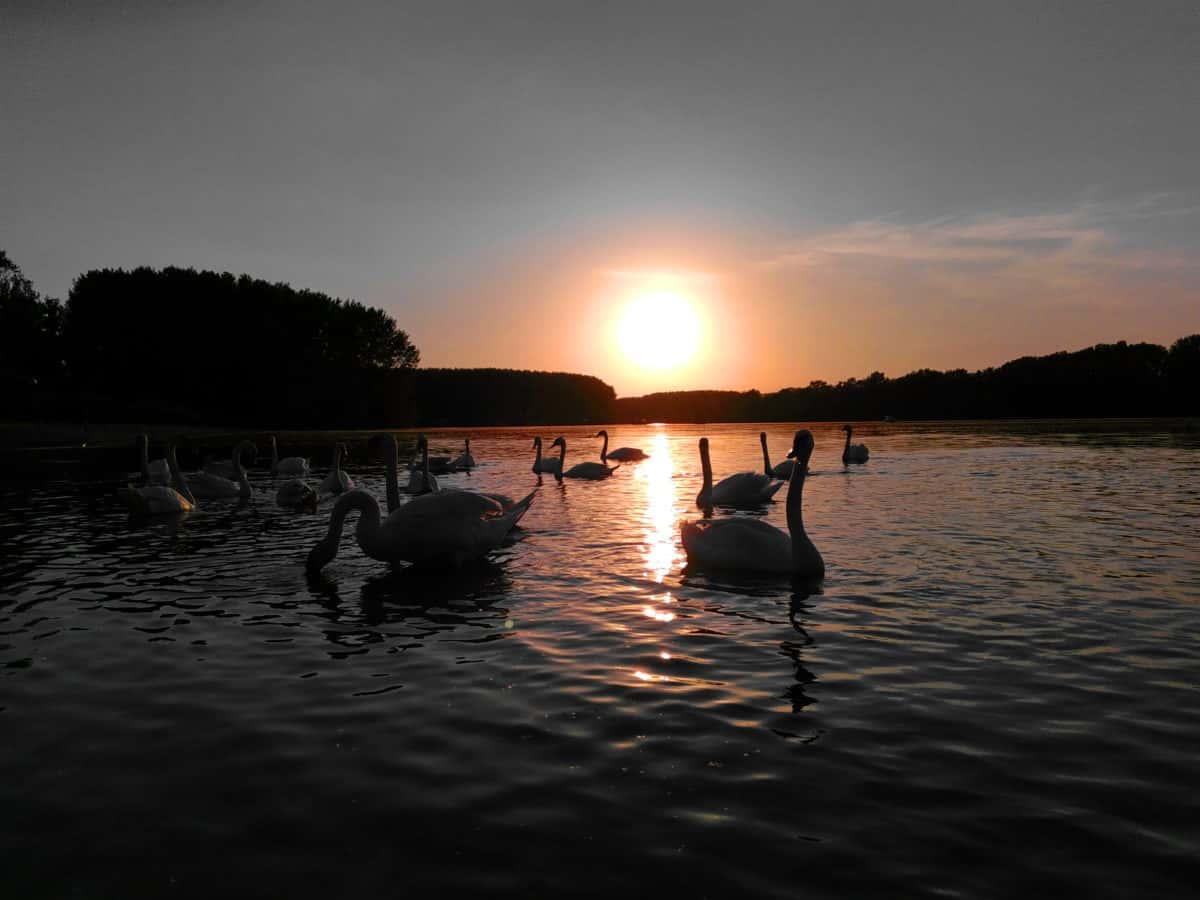 лебед, птици, зората, привечер, слънцето, отражение, вода, залез, река, езеро