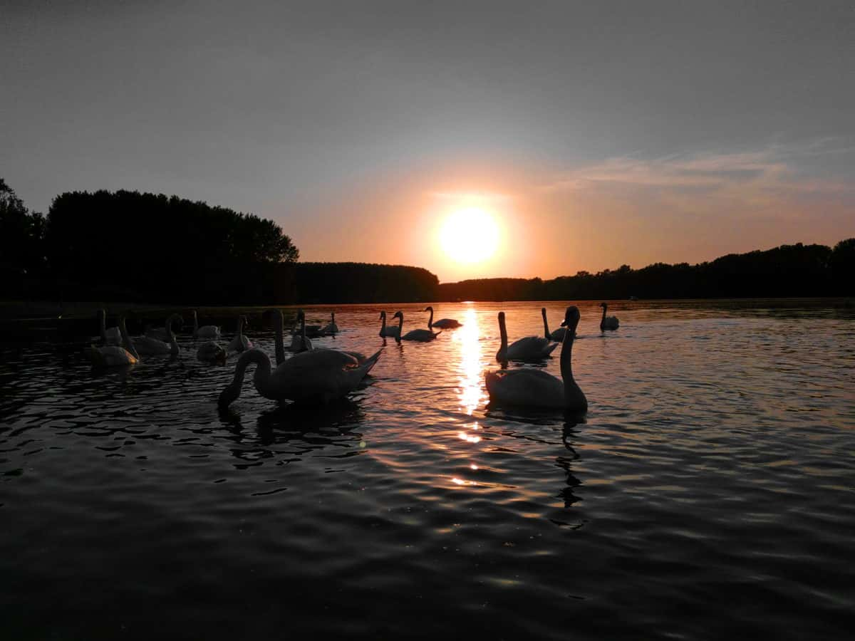 cisne, Ave, amanecer, atardecer, sol, reflejo, agua, atardecer, río, lago