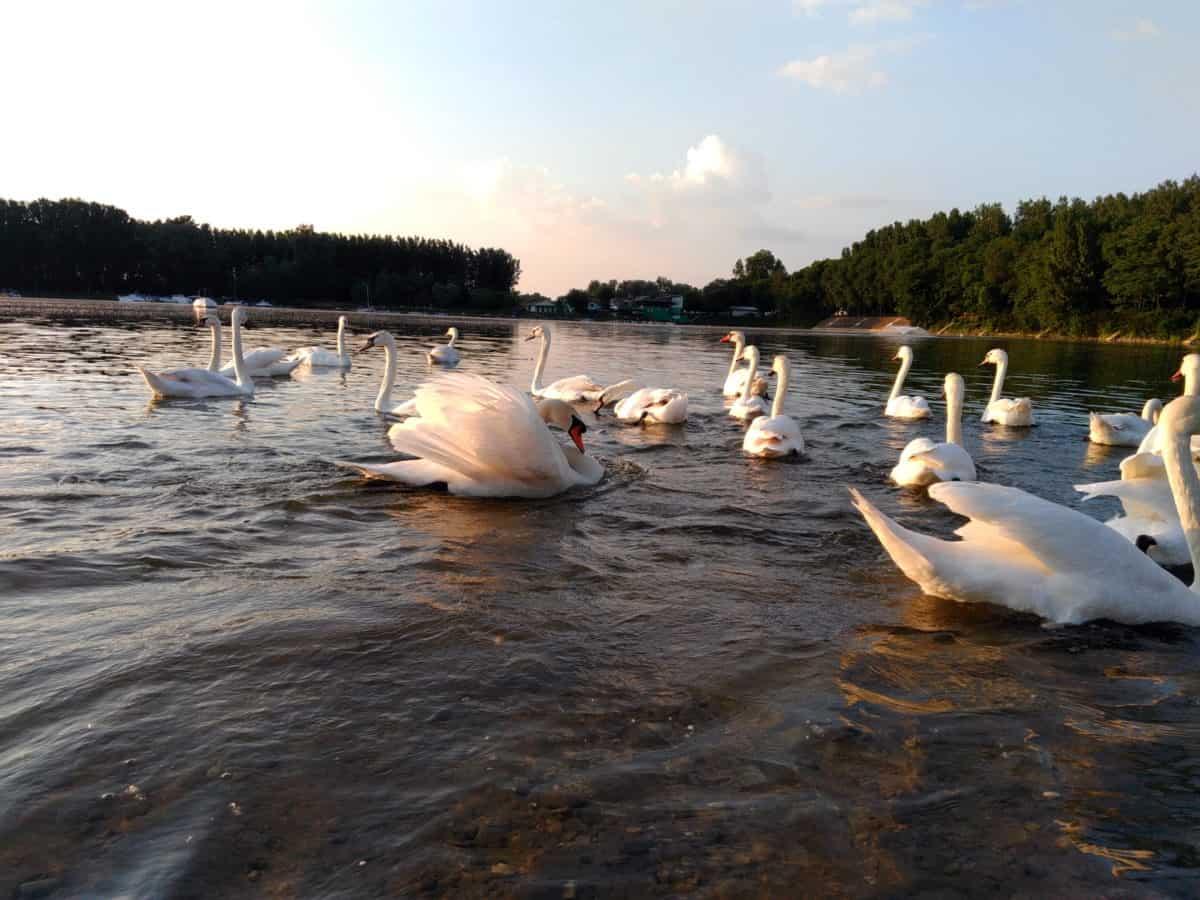 лебед, птици, животно, езеро, река, вода, lakeside, бряг, плаж, Открит