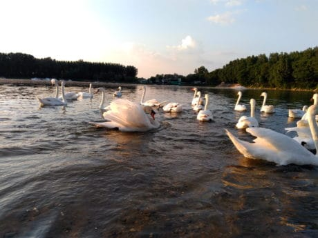 swan, bird, animal, lake, river, water, lakeside, shore, beach, outdoor