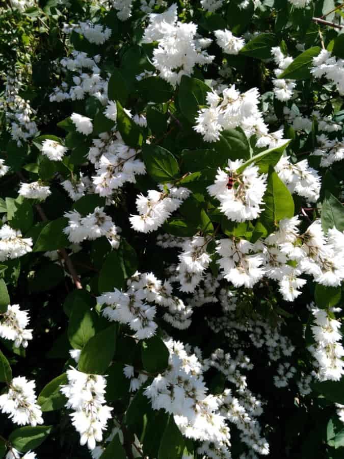 флора, цвете, лято, природа, листа, венчелистче, Градина, растения