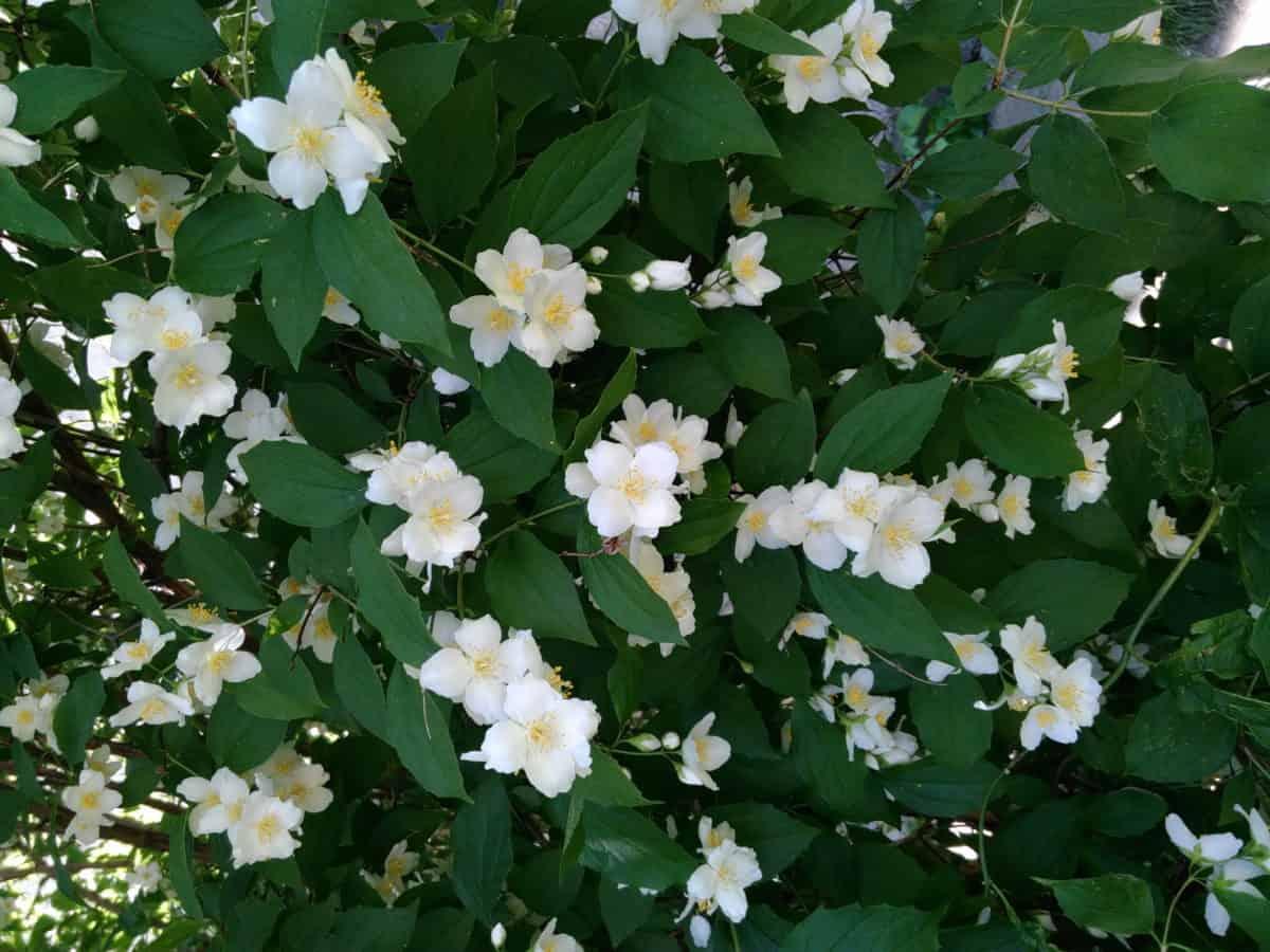 Градина, флора, цвете, природа, лято, венчелистче, листа, растителни