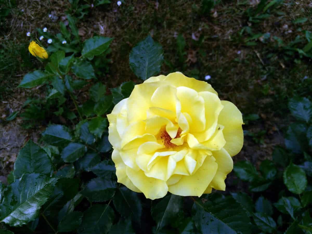 природа, листа, листенца, флора, жълто цвете, Градина, роза, завод, Блум