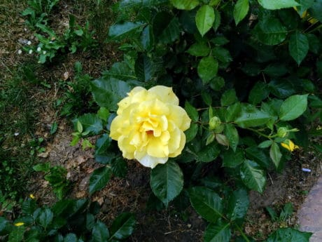 flora, yellow flower, garden, nature, leaf, rose, plant, petal, outdoor