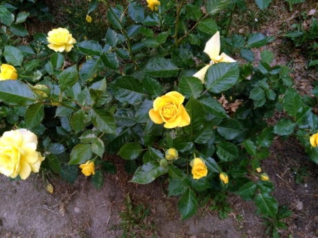 yellow rose, leaf, garden, nature, flora, flower, plant, herb, blossom