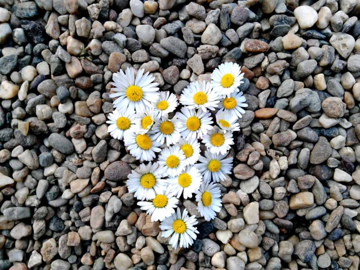 heart, daisy, stone, love, decoration, nature, herb, flower