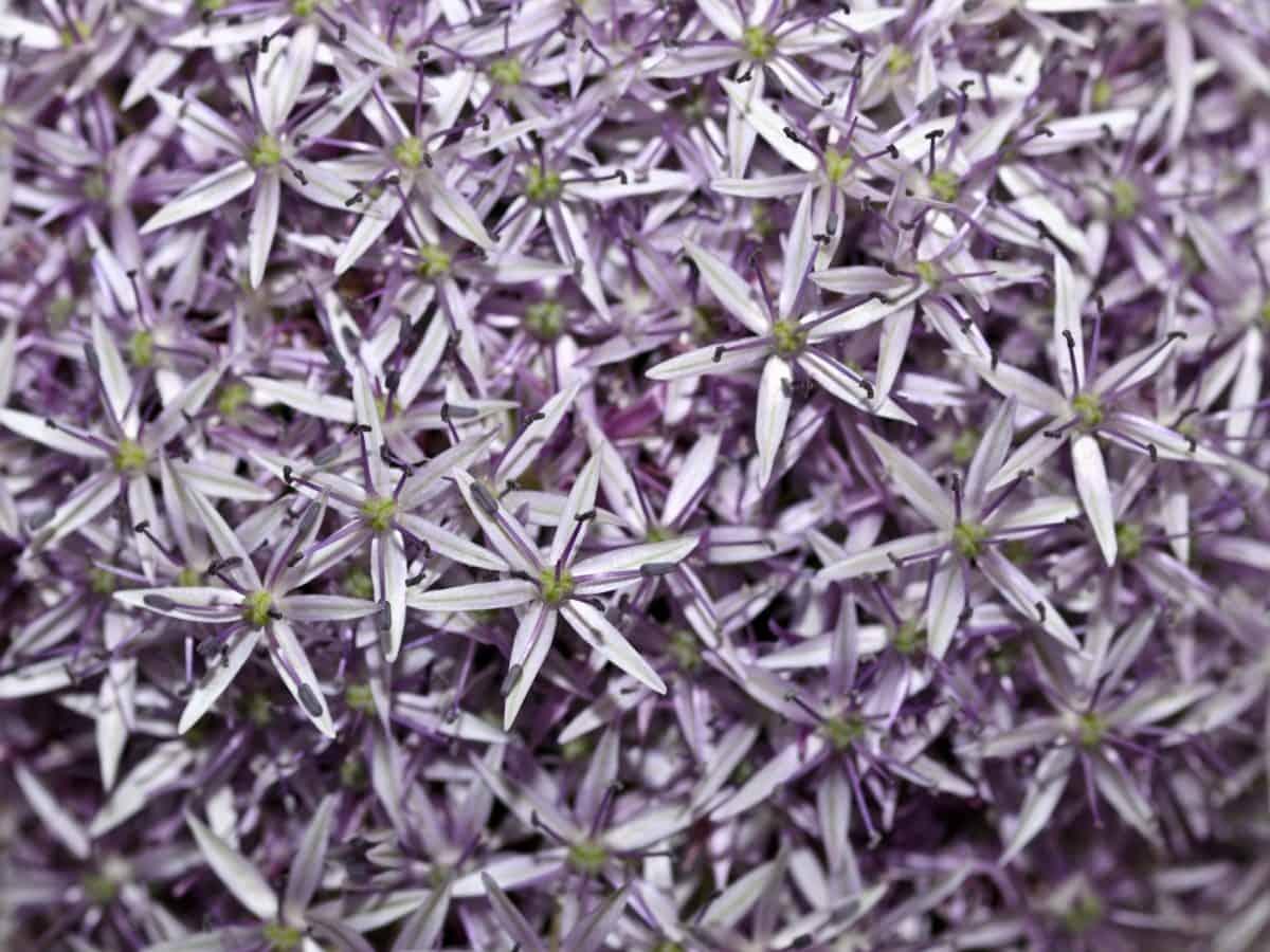Люляк, флора, детайл, цветя, билки, венчелистче
