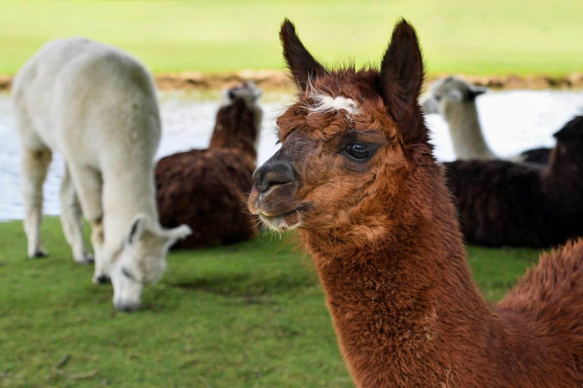 ternak, llama, alpaka, rumput, hewan
