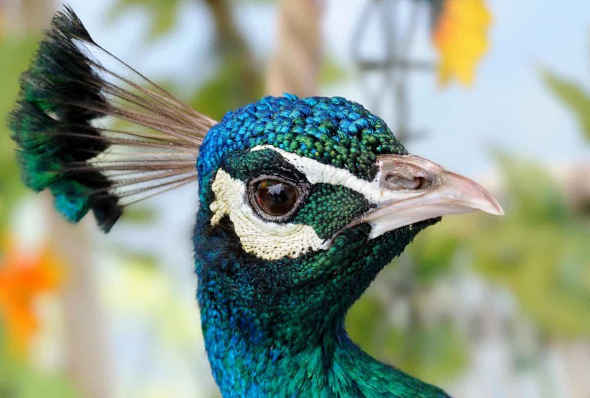 peacock bird, nature, bird, head, wildlife, feather, animal