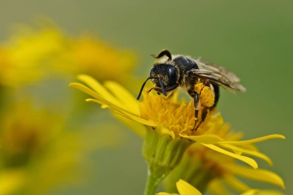 insekt, natur, pollen, sommar, bee, blomma, växt