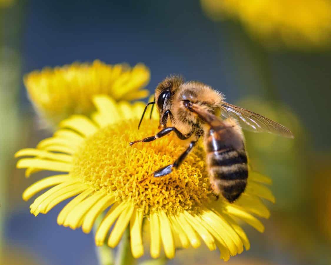 Bee, natur, blomsten, bestøvningen, pollen, insekt, honningbien