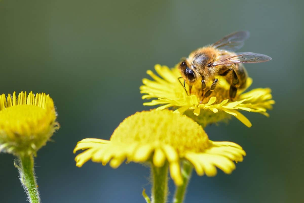 ape, insetto, dente di Leone, fiore, natura, polline, impollinazione
