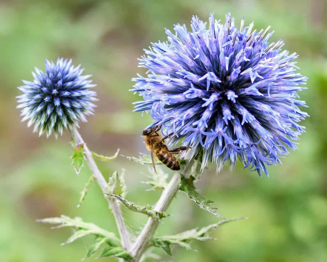 Bee, insekt, flora, natur, insekt, huvud, sommar, vilda, pollen, kronblad