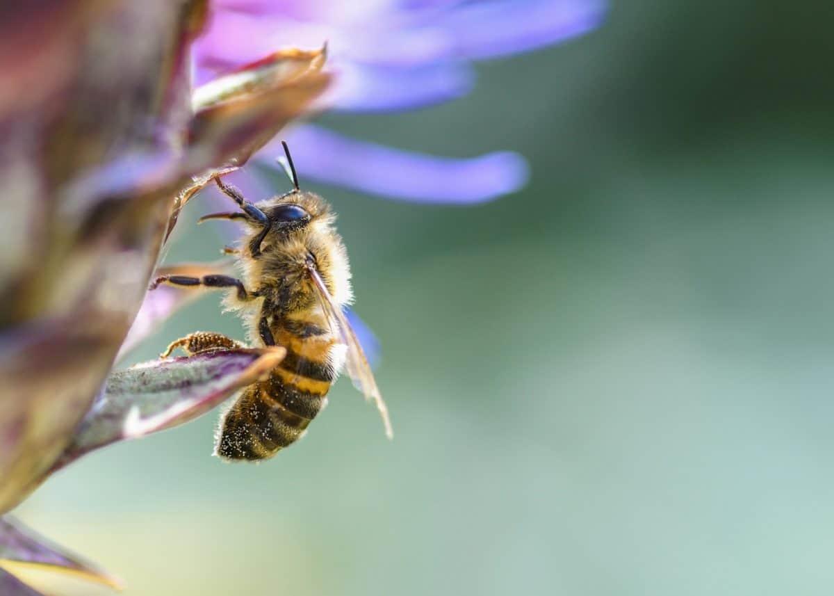 Honigbiene, Makro, Detail, Pollen, Natur, Bestäubung, Biene, Insekt