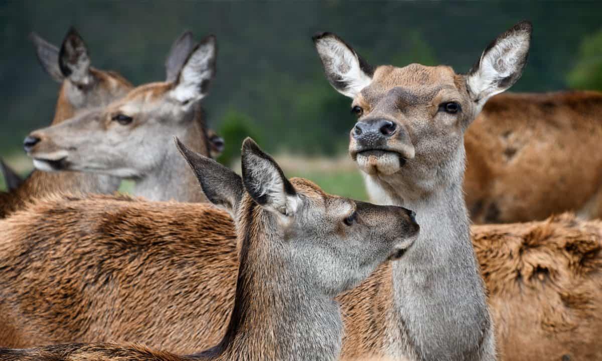 příroda, volně žijící zvířata, jelenů, divokých, zvíře, kožešiny, roztomilý, venkovní