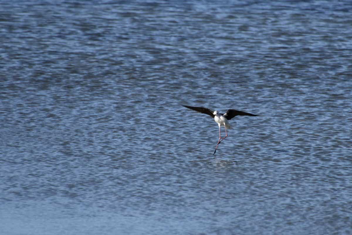 fauna, lago, aves, agua, al aire libre, animal, cielo azul