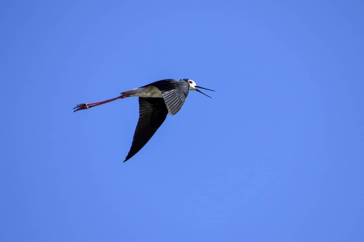 volně žijící zvířata, příroda, letu, pták, modrá obloha, v přírodě, zvířata