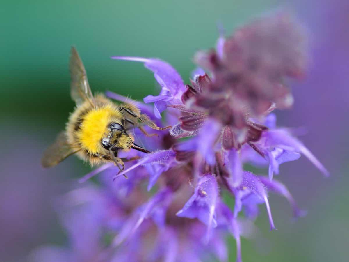 jardín, abeja, insecto, flor, verano, salvaje, naturaleza, flora