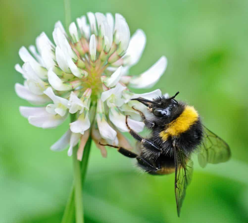 sauvage, nature, Bourdon, fleur, insecte, été, plante, arthropode