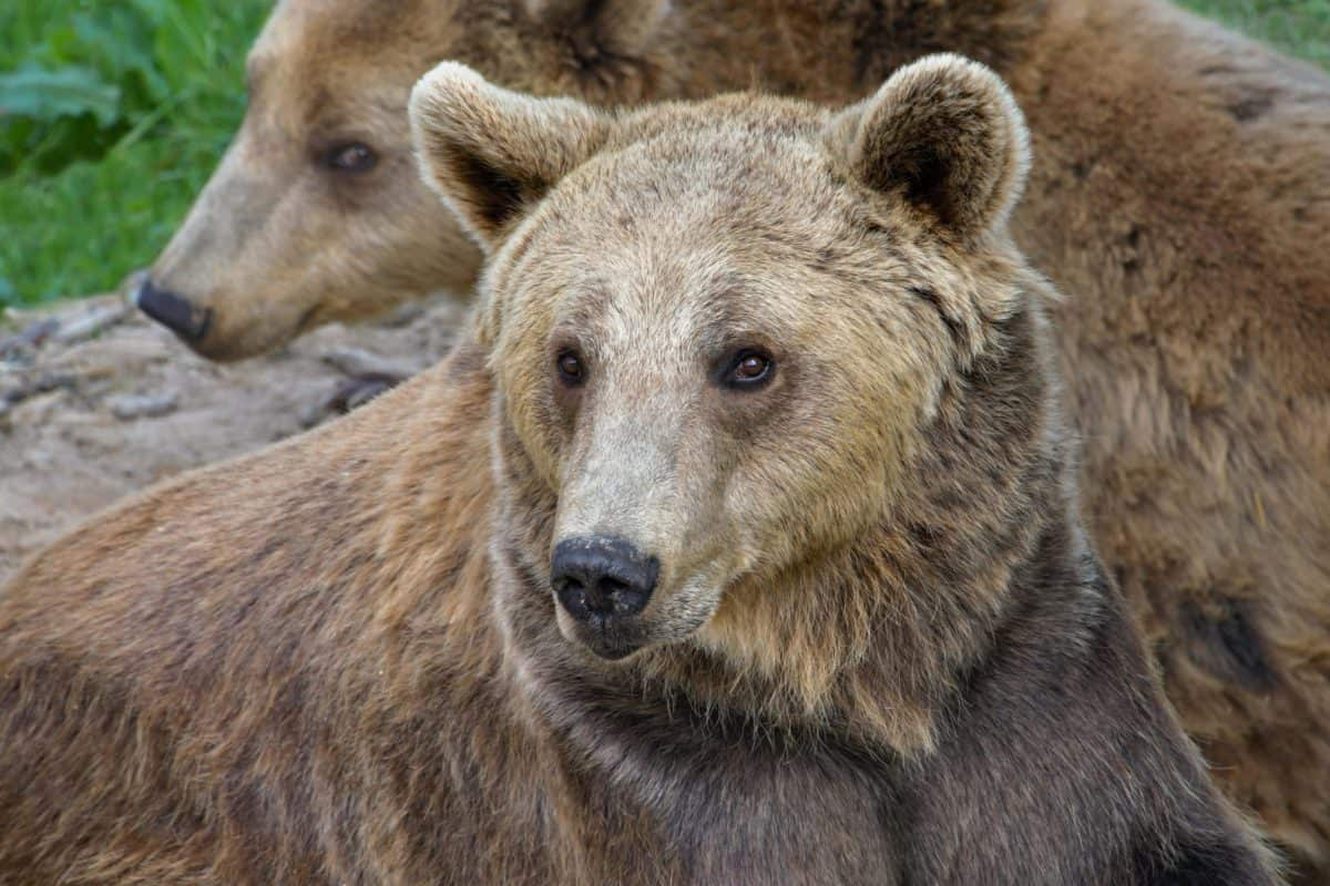 animal, wild, nature, wildlife, outdoor, bear, brown