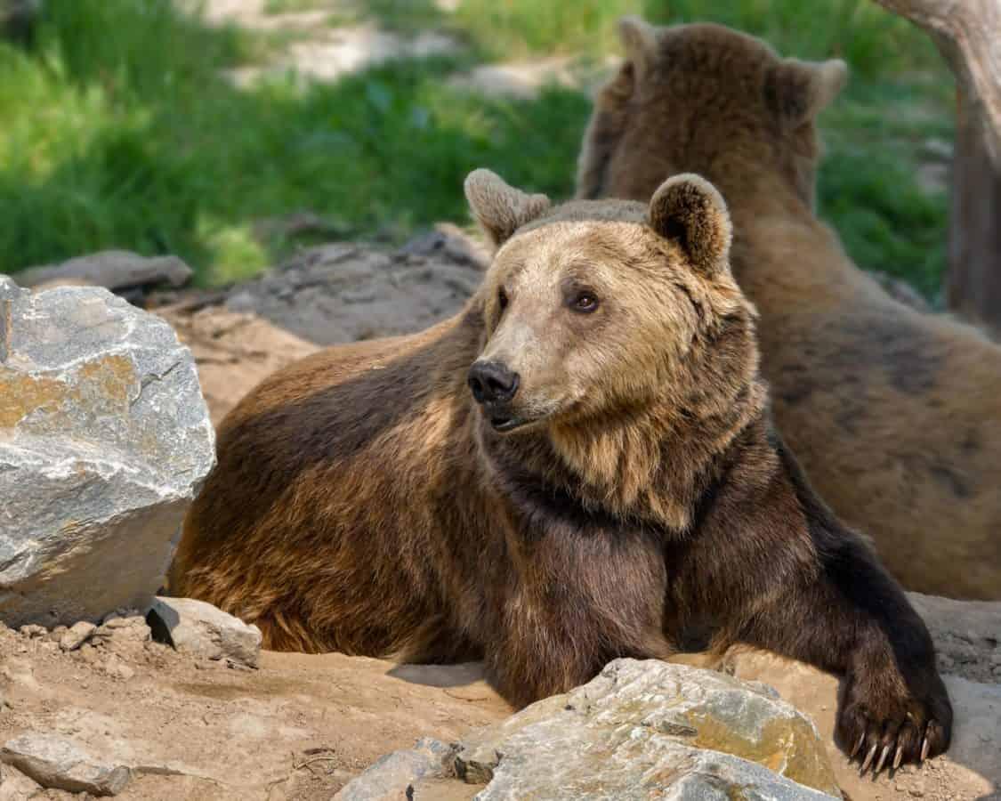 naturaleza, salvaje, de oso, piel, depredadores, animales, flora y fauna, al aire libre