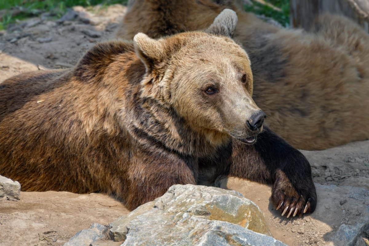 Predator, nature, faune, sauvage, ours brun, sol extérieur, animaux,