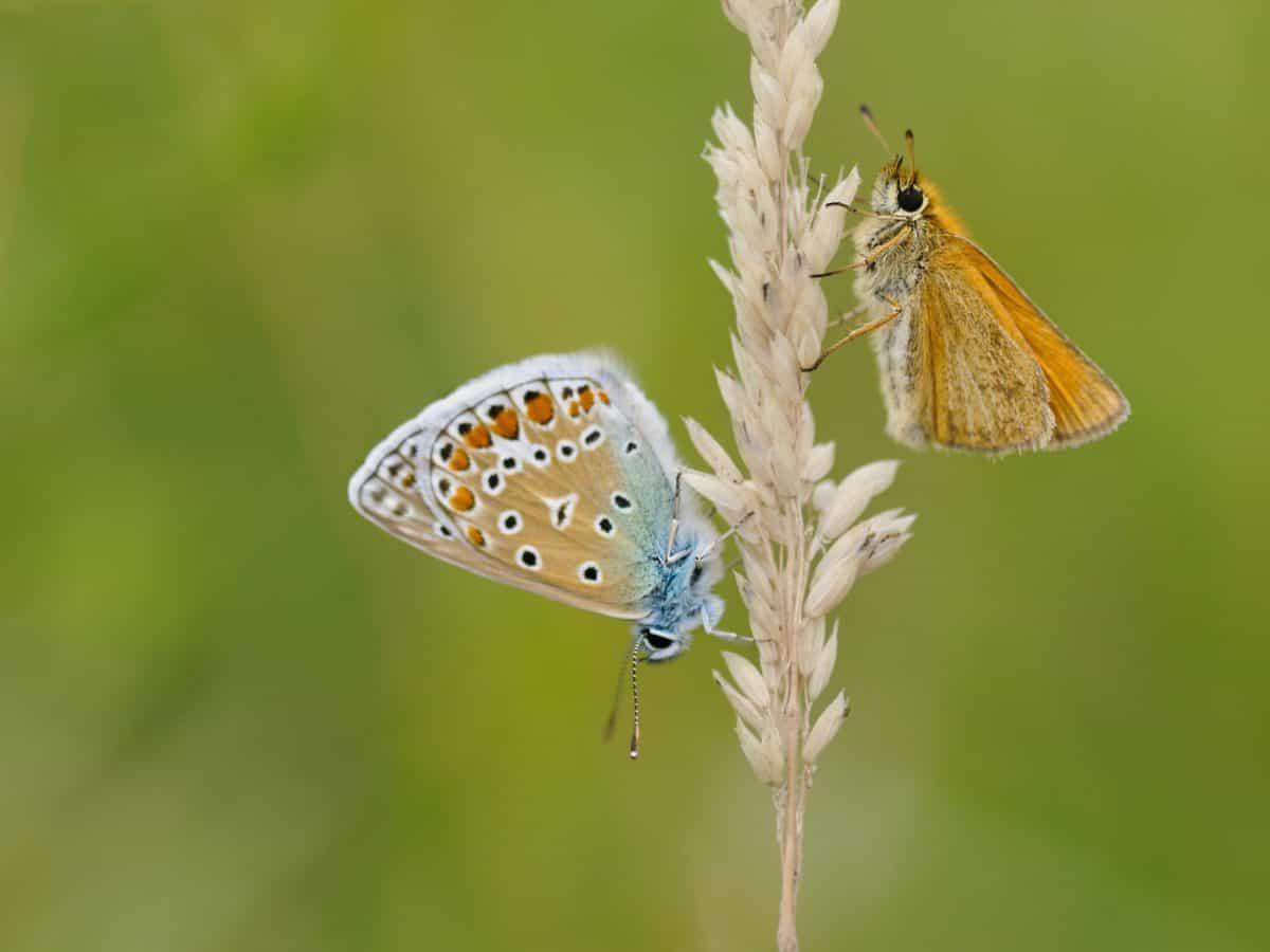été, nature, papillon, la faune, insectes, animaux, bleu