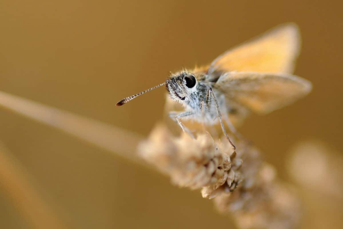 Wirbellosen, Tier, Tierwelt, Natur, Insekten, Schmetterling
