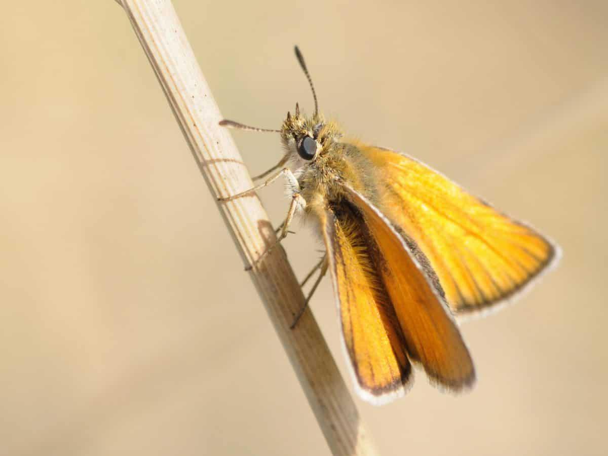 nature, papillon, invertébré, la faune, insectes, lépidoptères, arthropode
