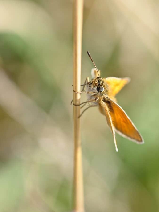 brauner Schmetterling, Tierwelt, Natur, Insekt, Arthropoden, detail