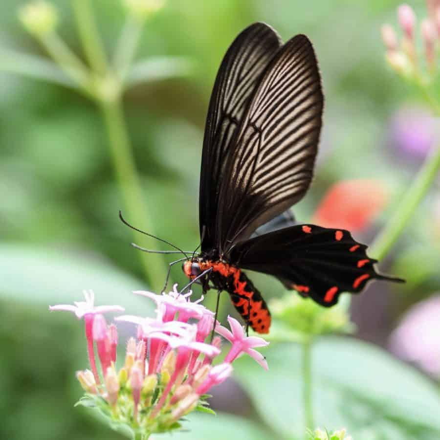 цвете, дивата природа, природа, дива, пеперуда, лято, насекоми