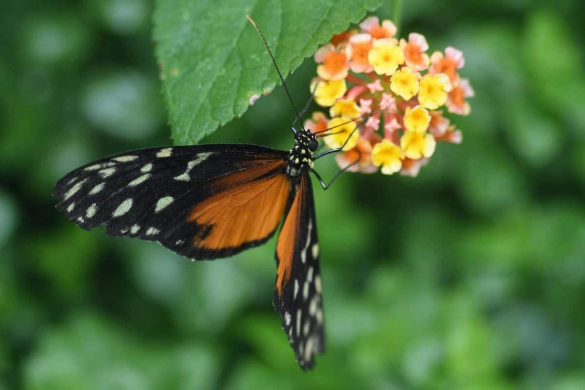 insecte, été, nature, papillons, faune, plante, fleur