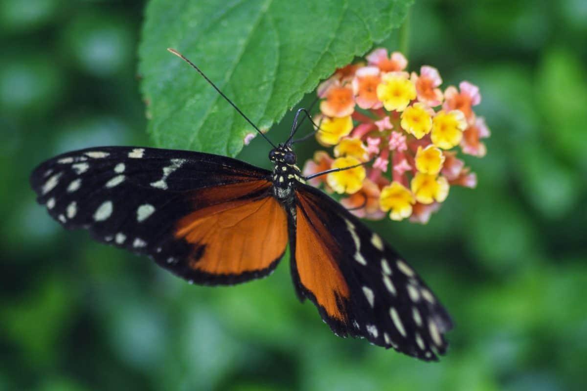 насекоми, пеперуда, лято, природа, растения, крило, цвете, Градина