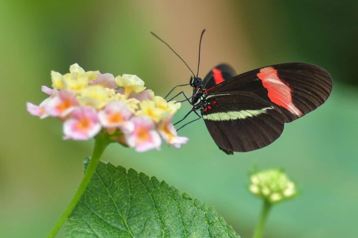 natura, farfalla, fiore, estate, foglia, insetto, pianta, giardino