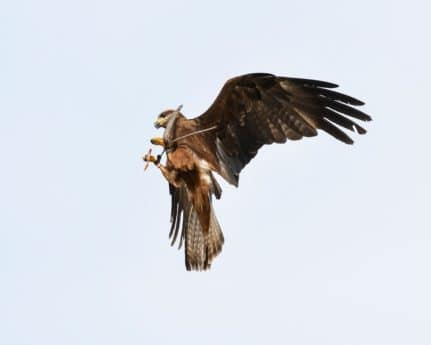 animal, beak, bird, sky, wildlife, bird, hawk, flight