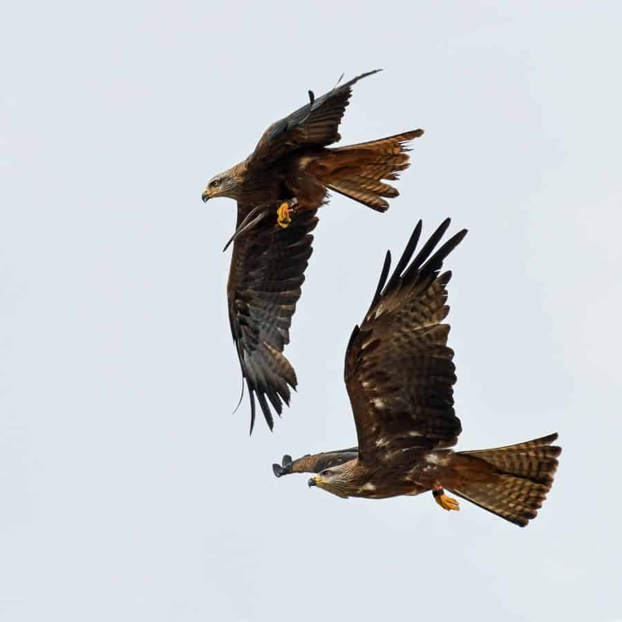 flight, bird, predator, hawk, wildlife, falcon, flight, sky
