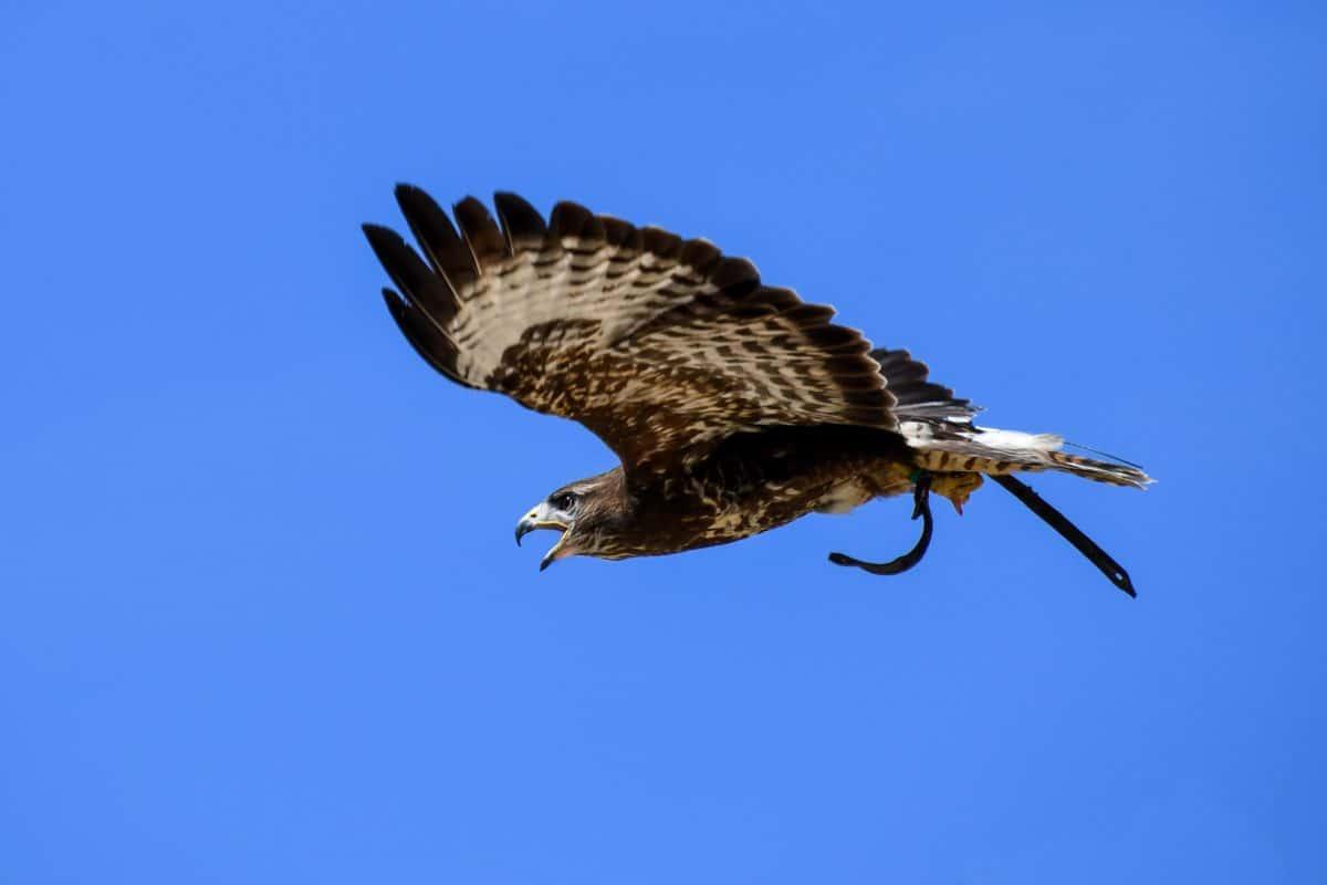 bird, hawk, blue sky, beak, wild, predator, feather, nature, wildlife