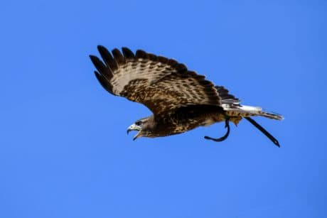bird, hawk, blue sky, beak, wild, predator, feather, nature, wildlife