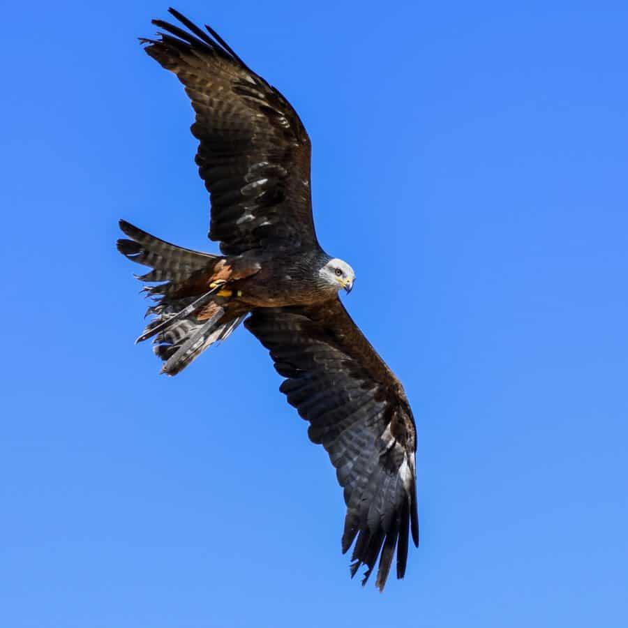 pico, salvaje, depredador, pluma, cielo azul, naturaleza, fauna, aves, Halcón