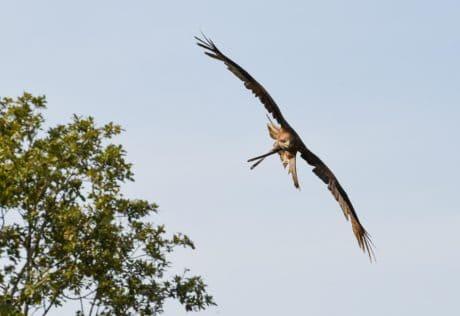 natureza, Falcão, bico, selvagem, animais selvagens, pássaros, voo, árvore, céu