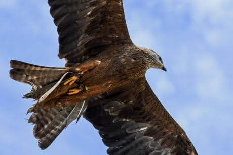 nature, hawk, beak, bird, flight, wild, wildlife, sky