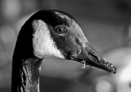 bird, beak, head, nature, waterfowl, wildlife, animal, goose