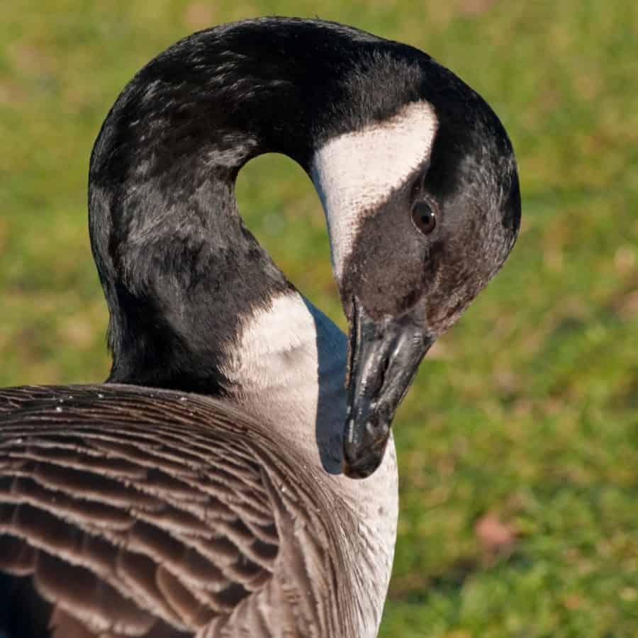 uccello, becco, uccelli acquatici, collo, fauna selvatica, oca, pollame, piuma, animale