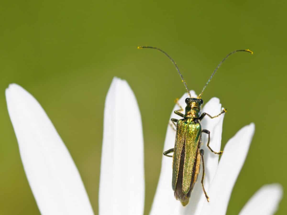 insecto, naturaleza, verano, escarabajo, invertebrado, flor, detalle, Pétalo