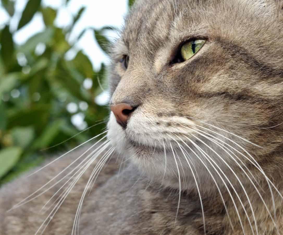 vlásek, roztomilý, kožešiny, oko, příroda, kotě, zvíře, přírody, kočka